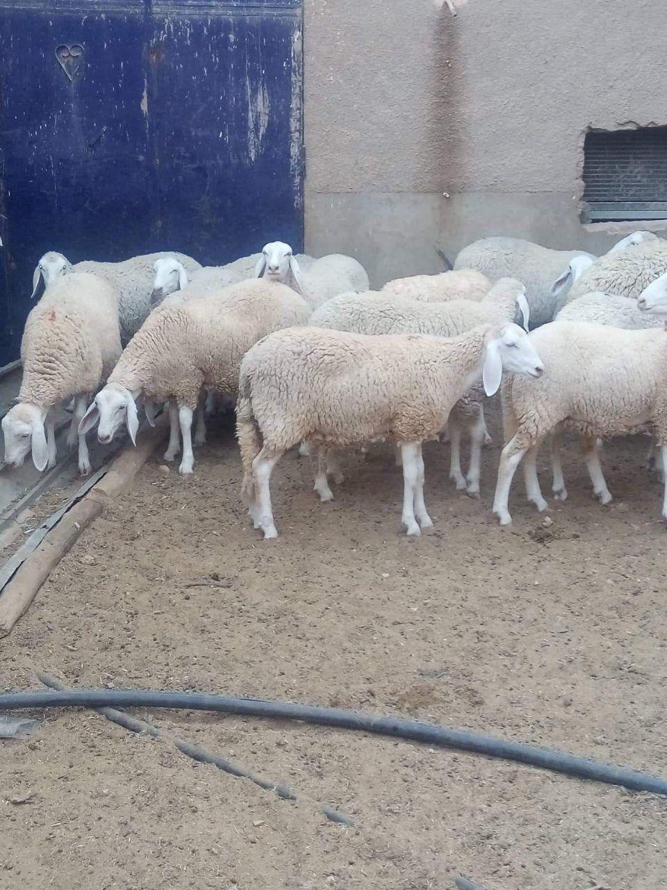 Les achats des moutons avec vos dons