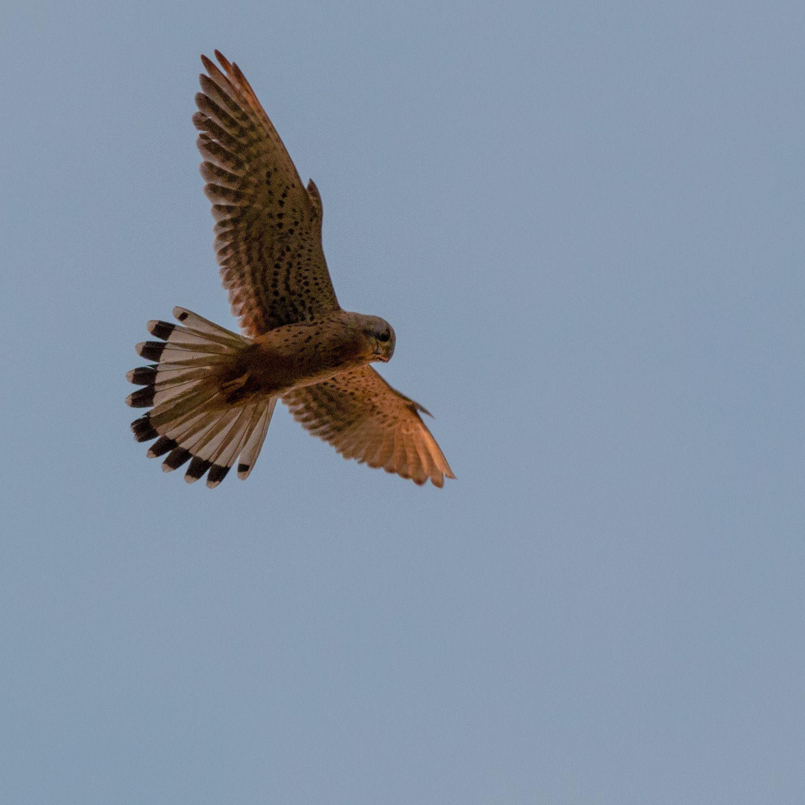 La scène se déroule aux HB. Le Faucon crécerelle fait le vol du saint esprit. La sauterelle ne semble pas trop inquiète.