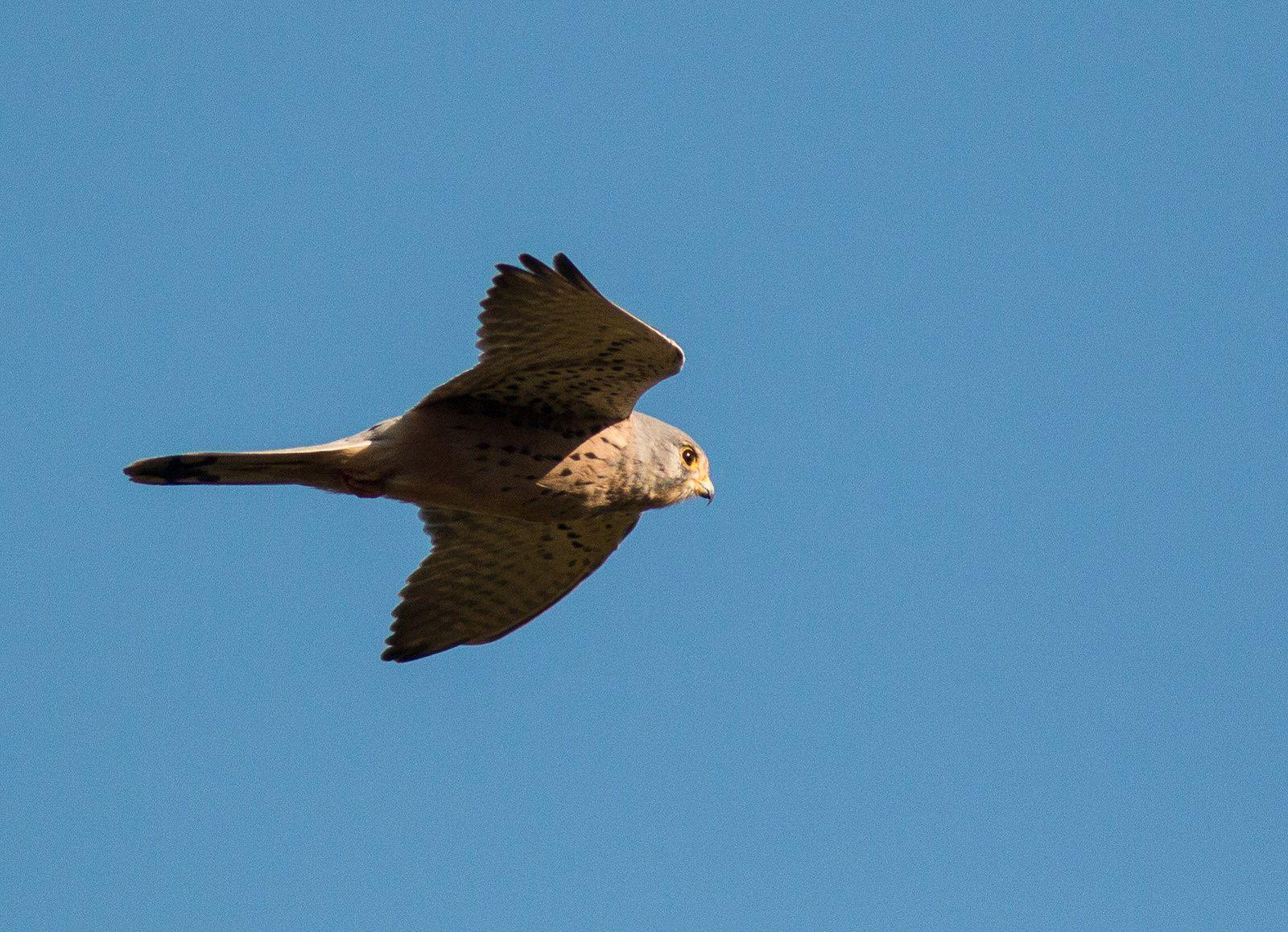 Et puis tranquillement le faucon crécerelle vient se poser devant l'objectif. Aucune difficulté pour l'identifier. C'est un familier.