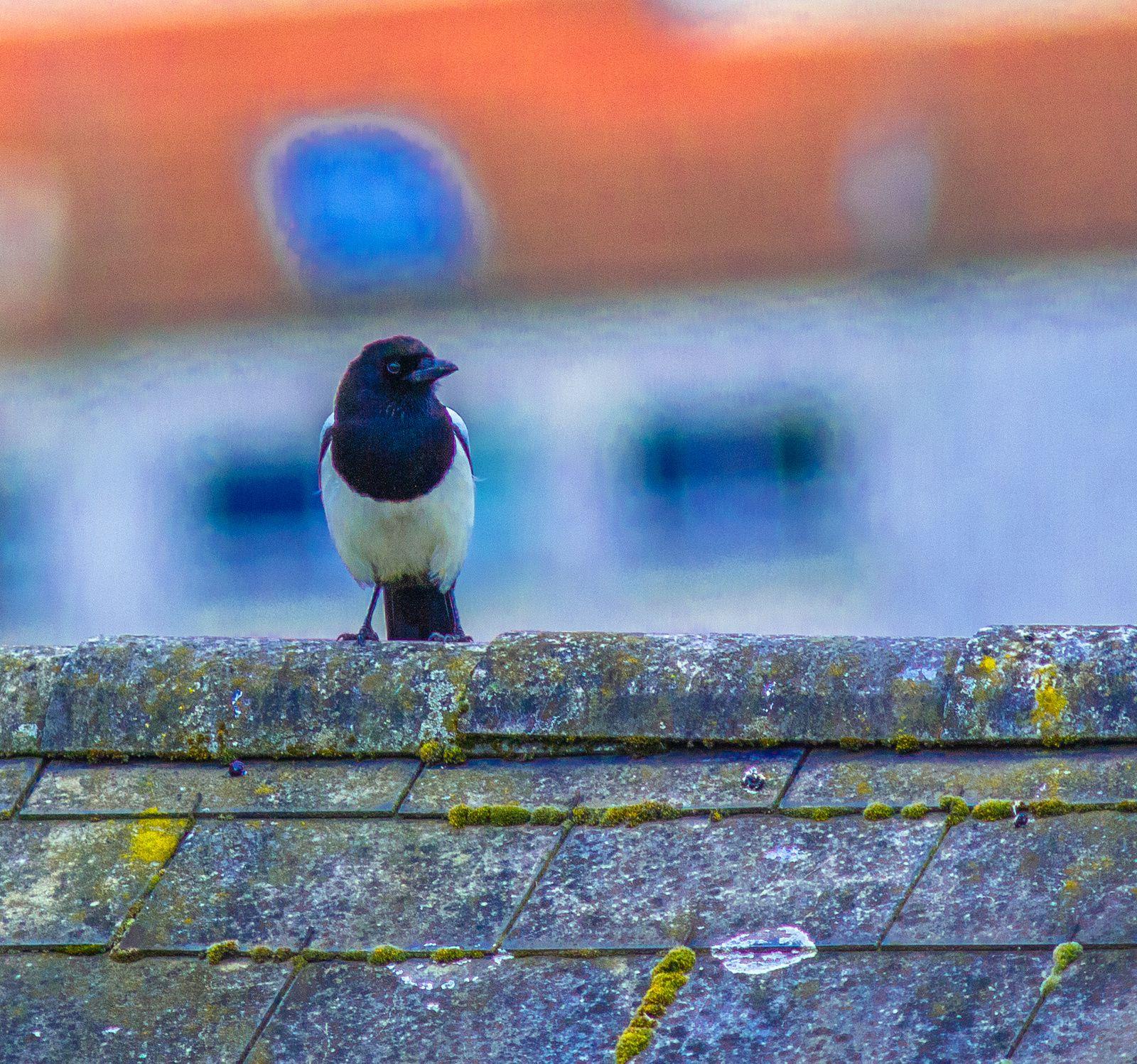 Pie bavarde et Pigeon ramier