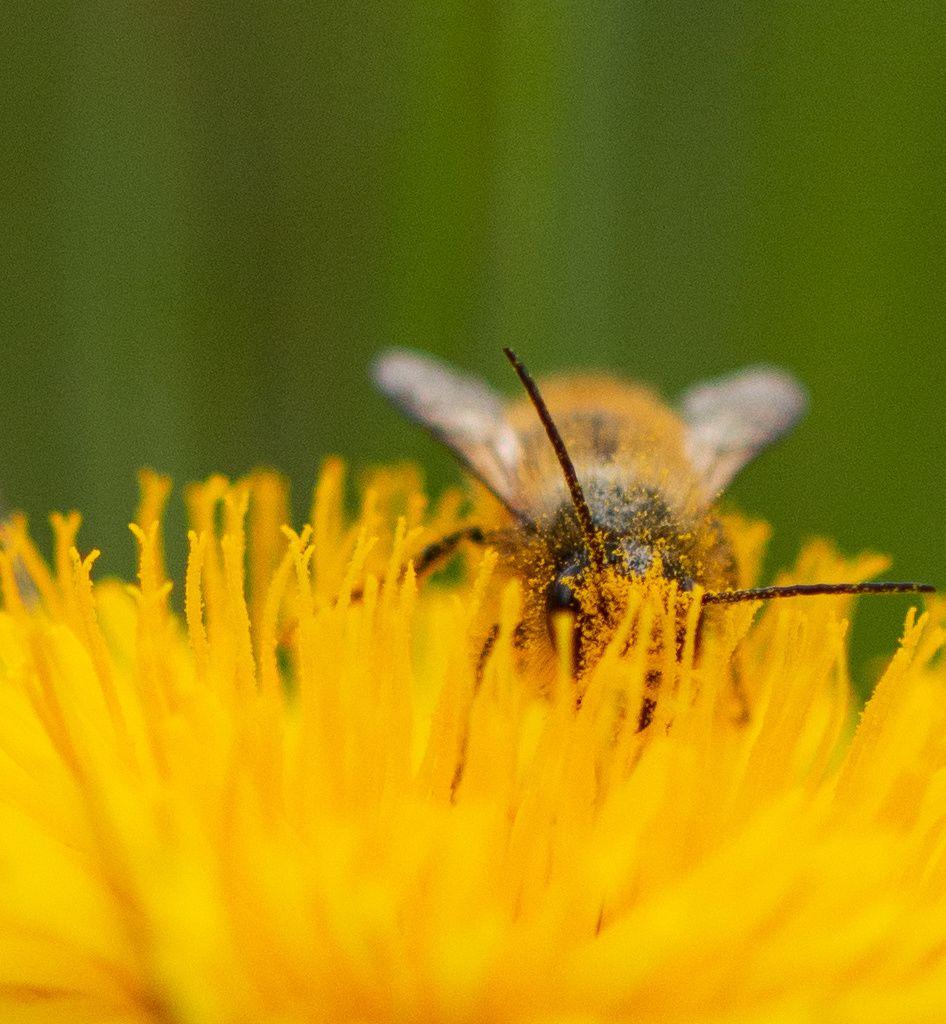Les abeilles qu'elles soient domestiques ou sauvages sont les pollinisateurs majeurs en raison d'un pillosité qui accroche le pollen et facilite son transport. Un service gratuit qui permet la production de fruits et de graines pour de nombreuses plantes.
