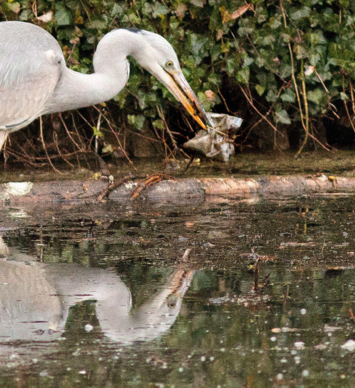 Plastique !?? avalé ou pas ? Dans les parcs urbains les conditions d'alimentation sont parfois limite.