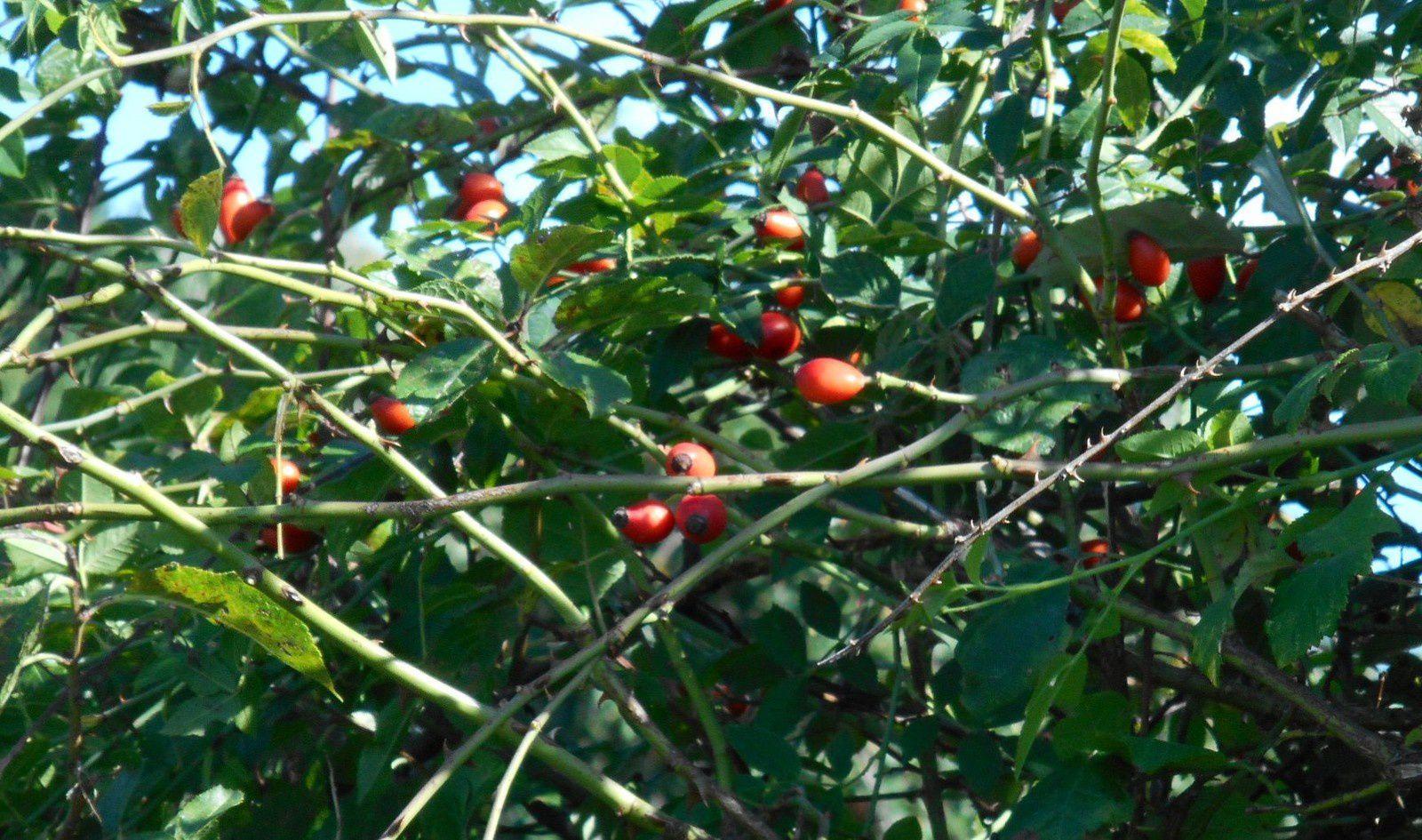 gratte-cul  ou cynorhodron fruit de l'églantine