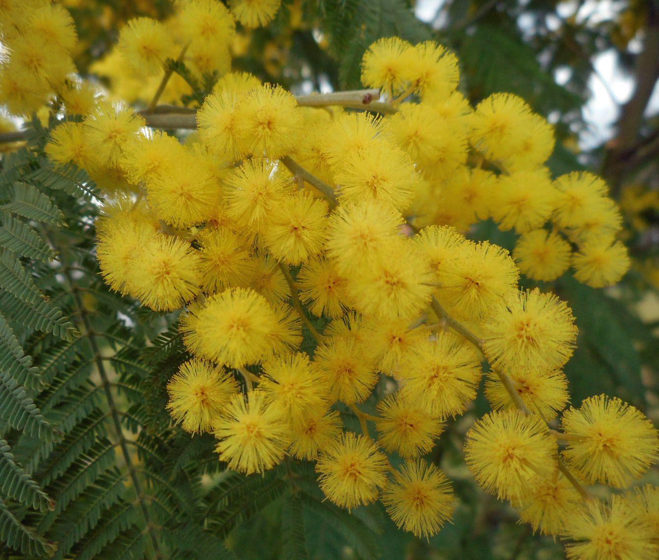 mimosa Villenave d'Ornon