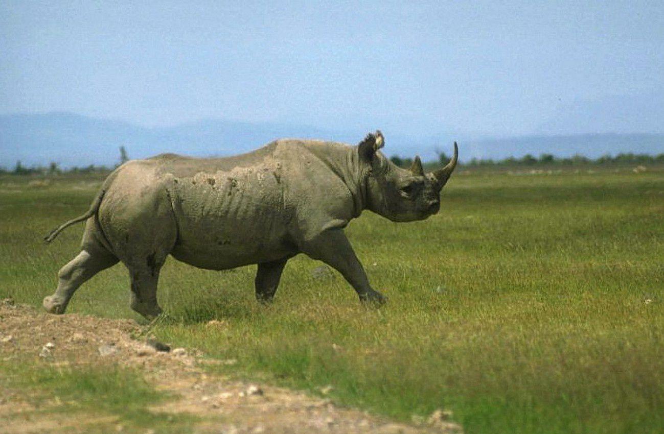 PHOTO RARE:  Mon Rhinocéros blanc (3,6 tonnes) pratiquement disparu !
