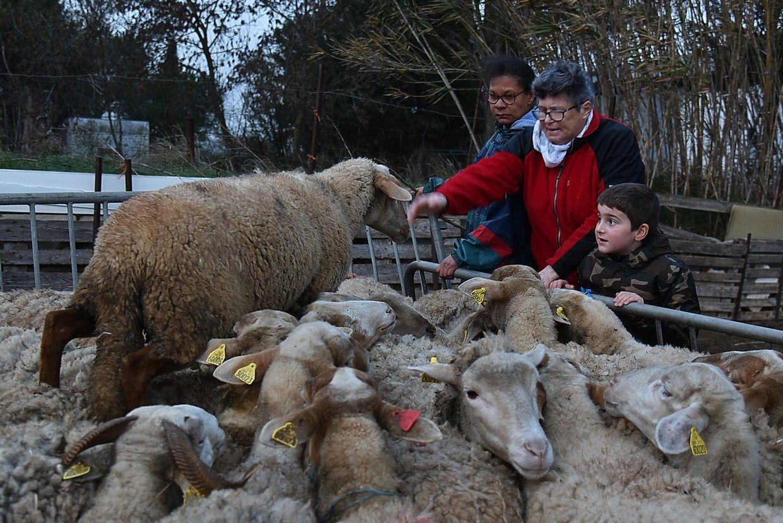 Plus de 100 brebis seront du voyage ( et leurs 50 agneaux)