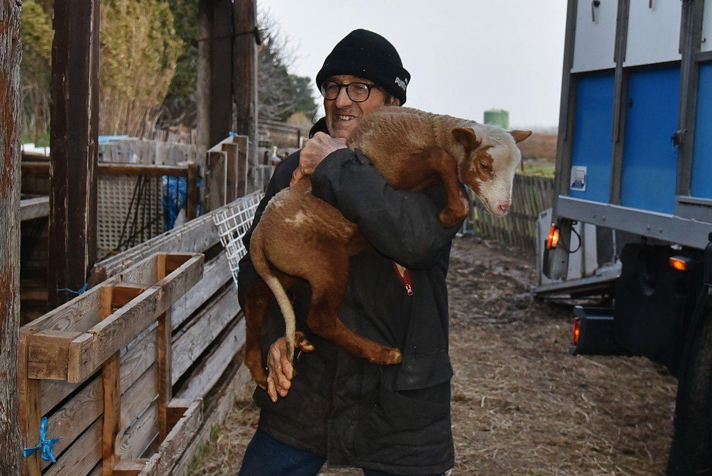 Plus de 50 agneaux sont chargés en priorité...