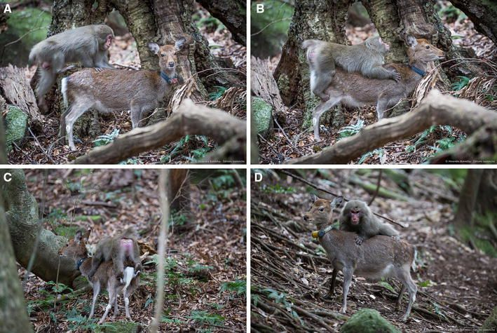 Sexual mount of a Japanese macaque male on two different deer. a–c Sequence of a sexual mount on a first deer that accepted being ridden. d The macaque tried to mount a second deer, but the latter clearly did not accept the mount