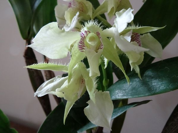 Dendrobium Grand Enchanteur