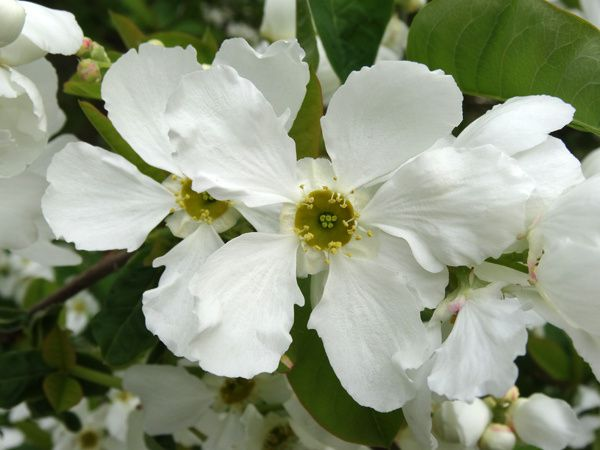 Exochorda serratifolia 'Snow White'