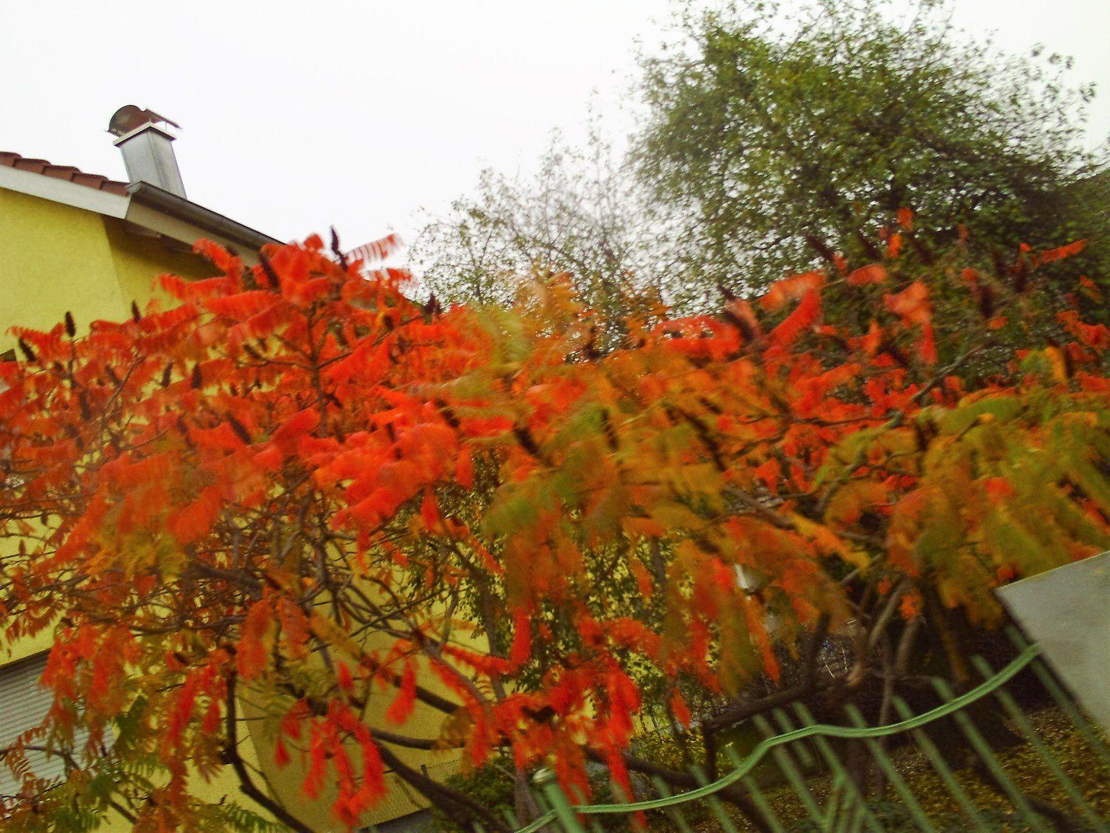 Goldwing - Promenade à Lahr en Germany pour la fête des chrysanthèmes et Gengenbach