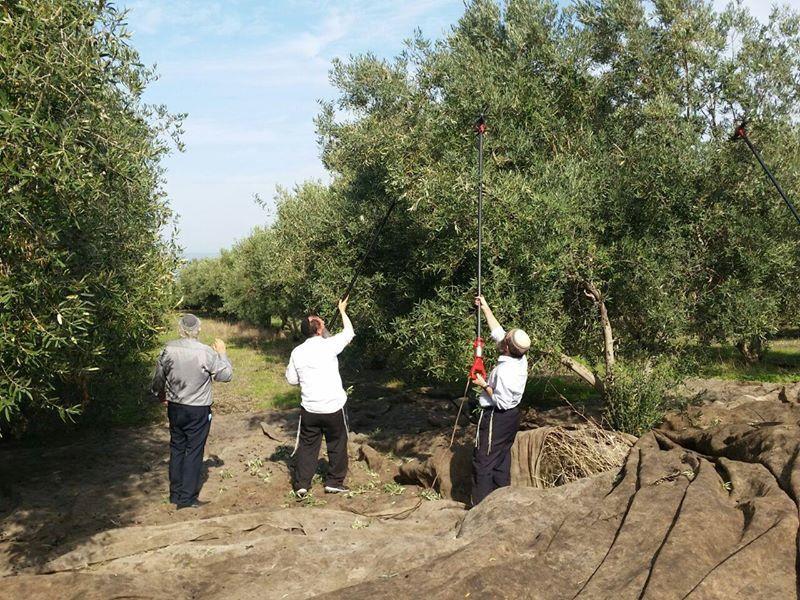 Préparatifs pour le 3e Temple : L'huile d'olive pure