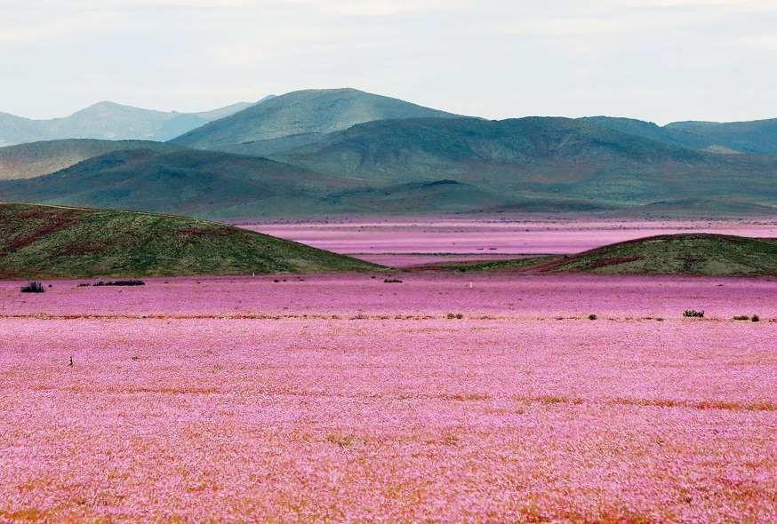 © Mario Ruiz Des millions de fleurs envahissent Atacama, après des pluies diluviennes.