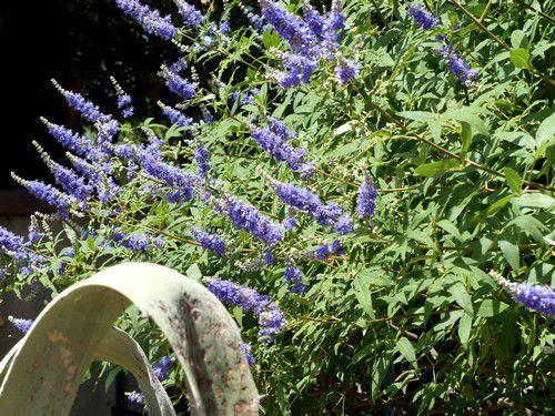 Mon  jardin  en  juillet