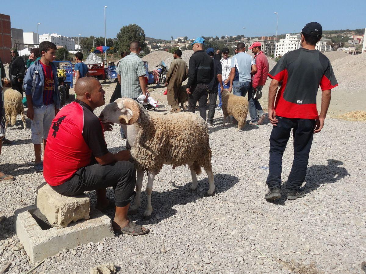 La vie des moutons au Maroc ... jusqu'à l'aïd (histoire sans parole)