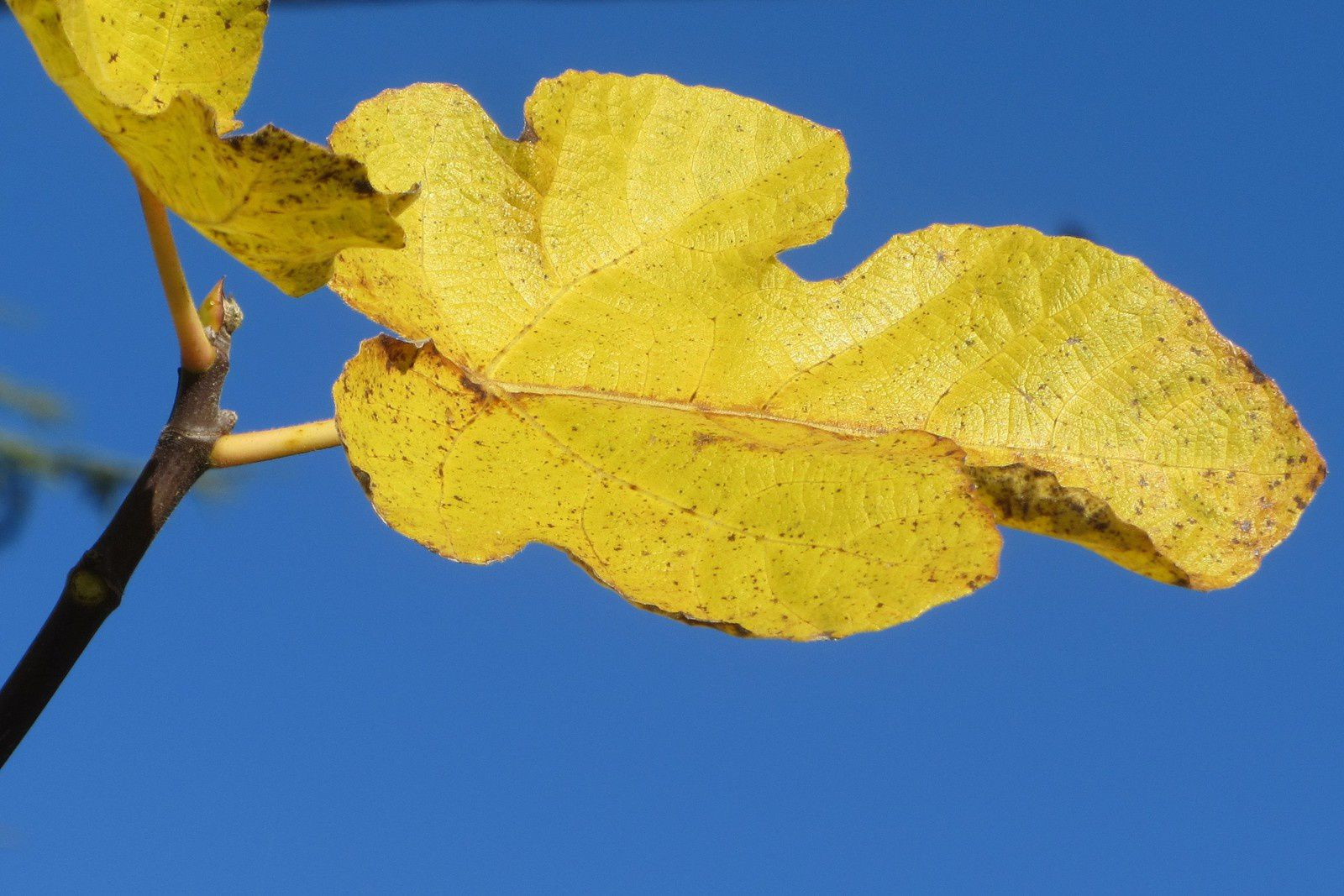 Le ciel d'azur offrait alors une toile de fond parfaite aux feuilles du figuier qui se teintaient d'or.