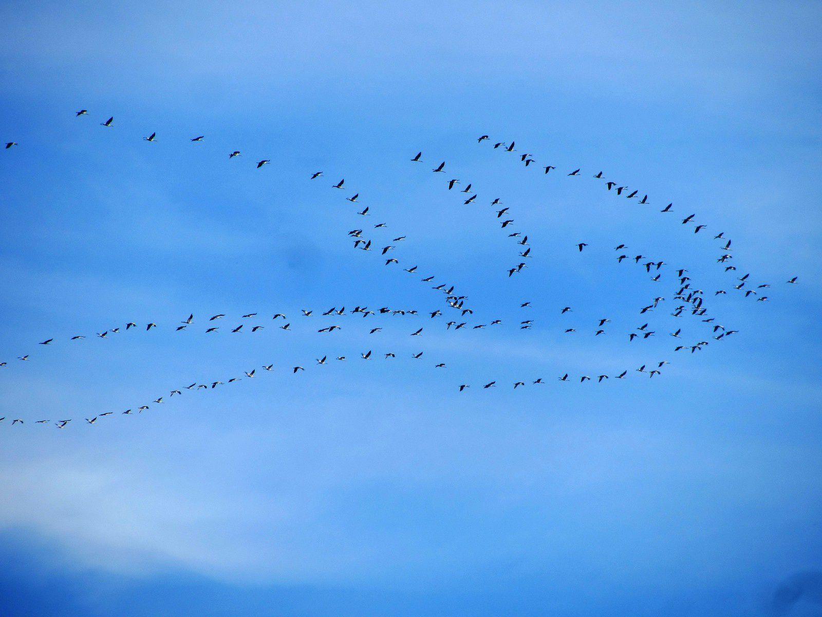 """Dans le ciel si bleu de novembre passaient par vagues, les vols de grues. Leur migration vers le soleil est très bruyante, On les entend arriver de loin. Et le """"V"""" dont elles signent dans le ciel ....."""