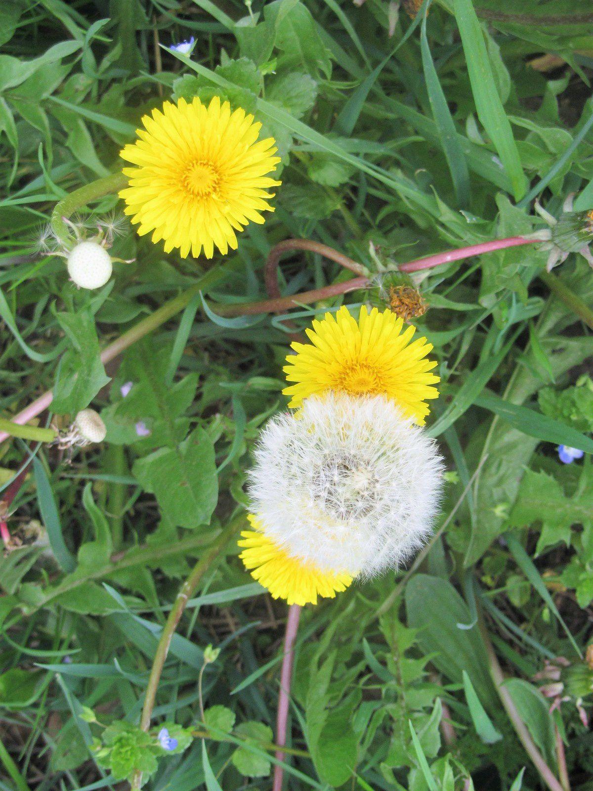 """Pas du tout rare, en cette saison : c'est le pissenlit. sa tache lumineuse éclaire les prairies. Et sa fleur montée en graine fait le bonheur des enfants. Elle est également devenu l'emblême du petit Larousse. Quoi de plus normal pour un dictionnaire de """"semer à tout vent"""""""