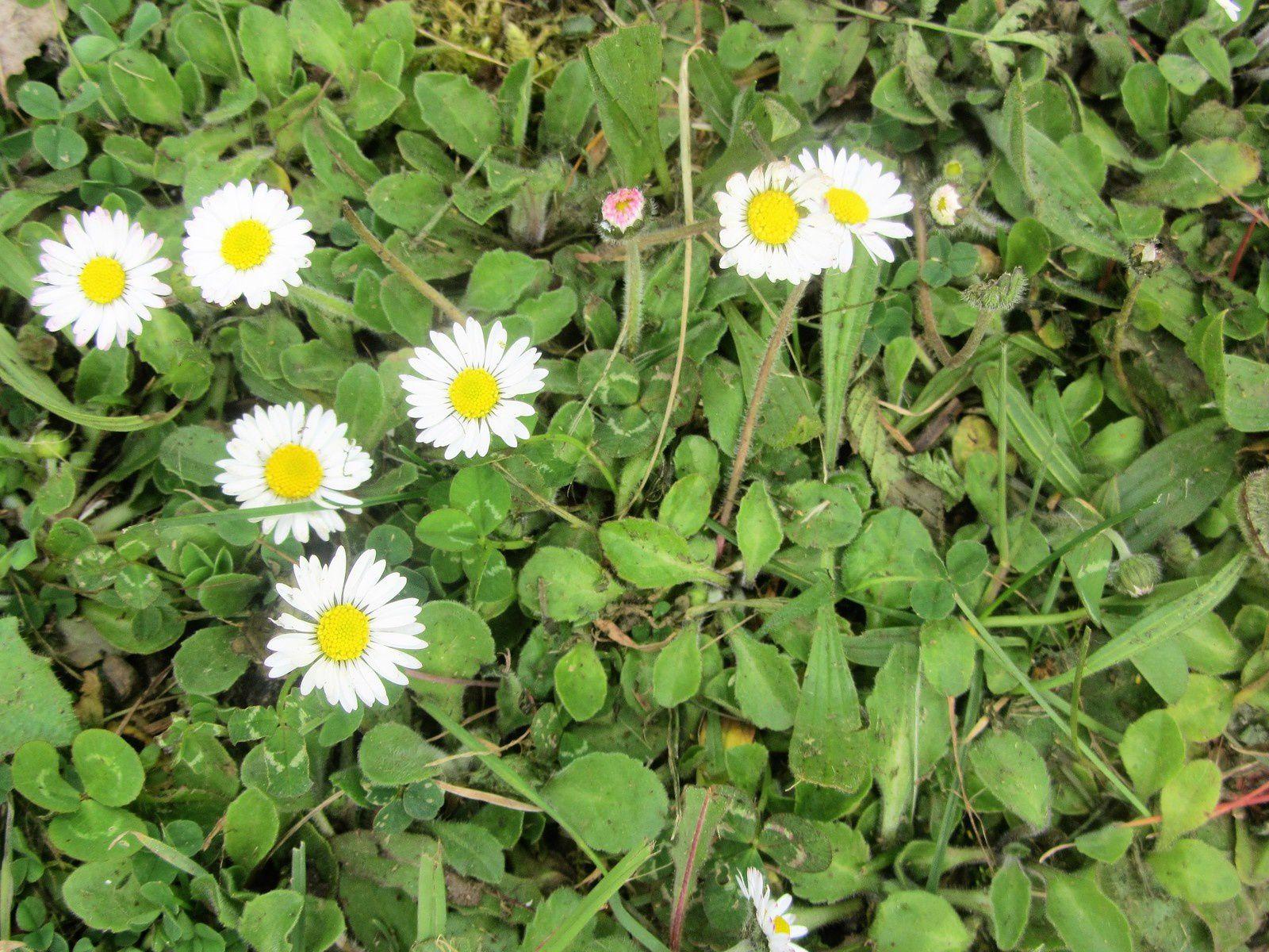 Comme des flocons, les pâquerettes paillettent la pelouse.