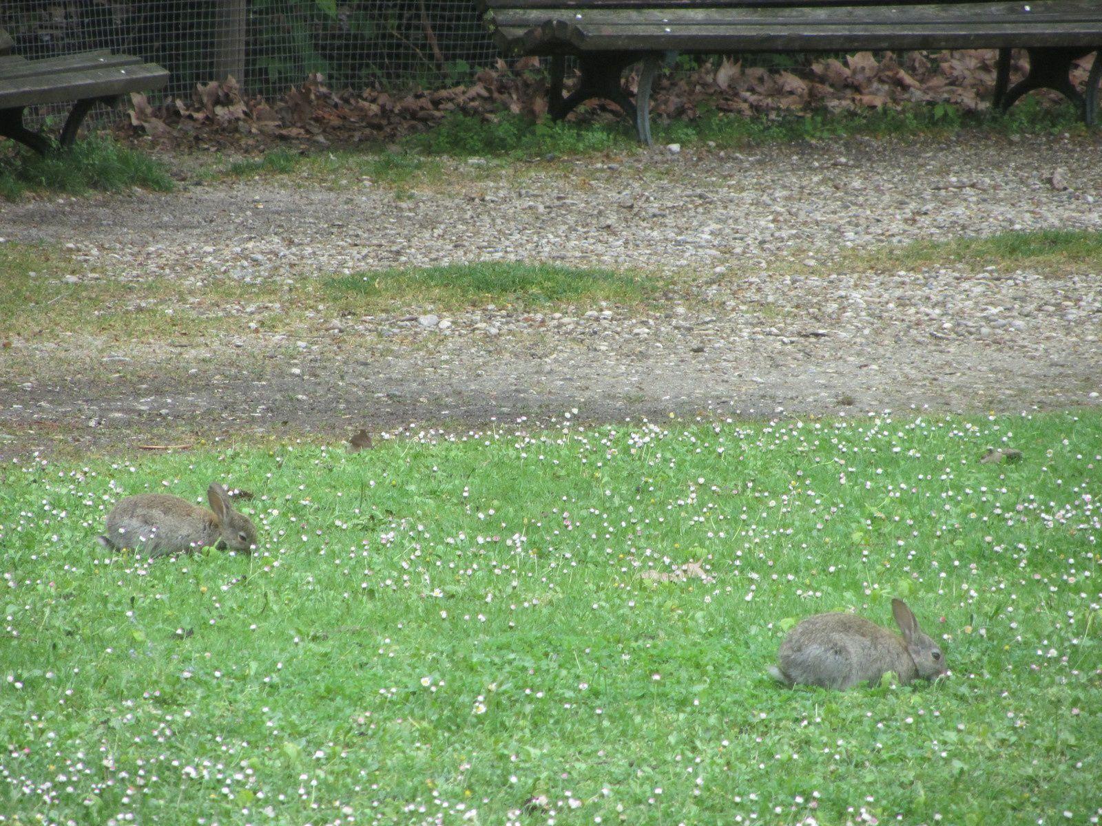 A n'en pas douter, elle aurait pu faire un tableau, des lapins que je rencontre le jeudi matin au parc bordelais, lorsque je vais marcher avec le groupe .