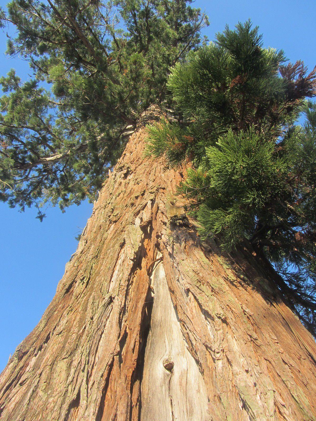 Il fût planté en 1230 est fait parti des arbres remarquables de France.