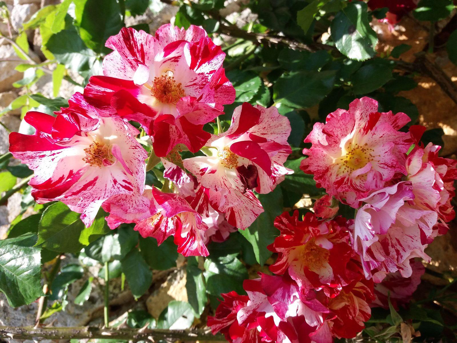 Pluie de roses  ... pour ton Anniversaire.