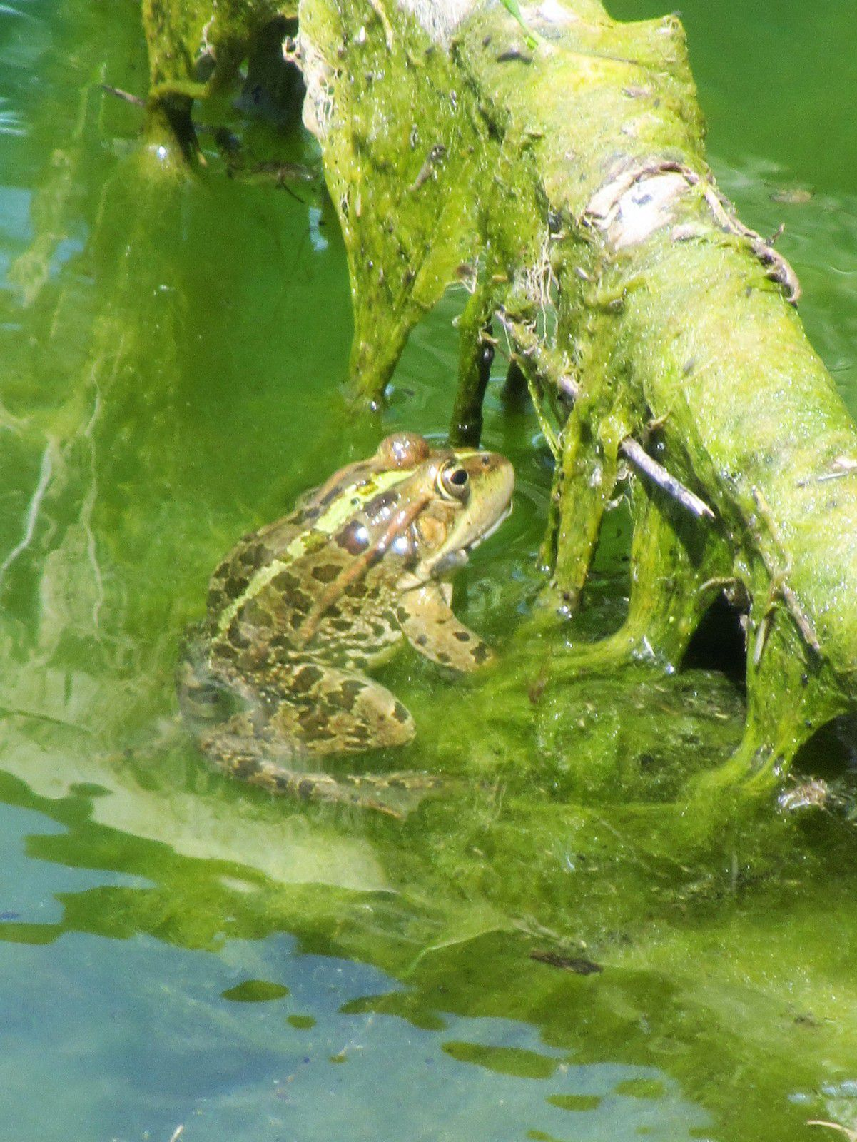 Et les soirées des riverains seront égayées du chant mélodieux des grenouilles petites et grandes.
