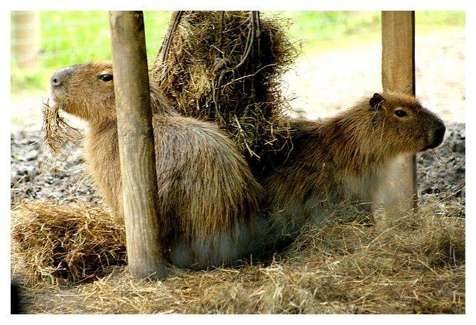 Capybara (Hydrochoerus hydrochaeris) ordre des rongeurs, famille des caviidés