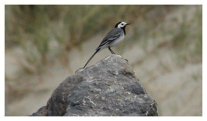 Bergeronnette grise (Motacilla alba) Ordre des Passeriformes Familledes Motacillidés