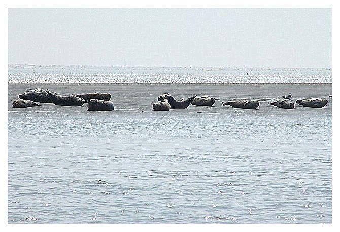 phoques en baie d'Authie