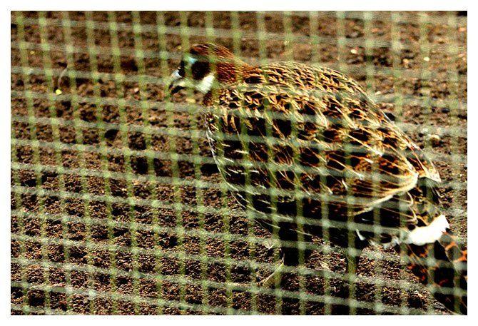 Lophophore resplendissant (Lophophorus impejanus)  femelle ... ordre des galliformes,  famille des Phasianidés.