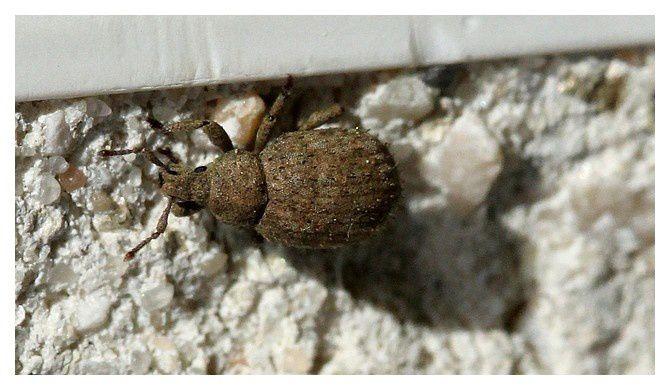 charançon ... Caenopsis fissirostris ... ordre des coléoptères, famille des curculionidés
