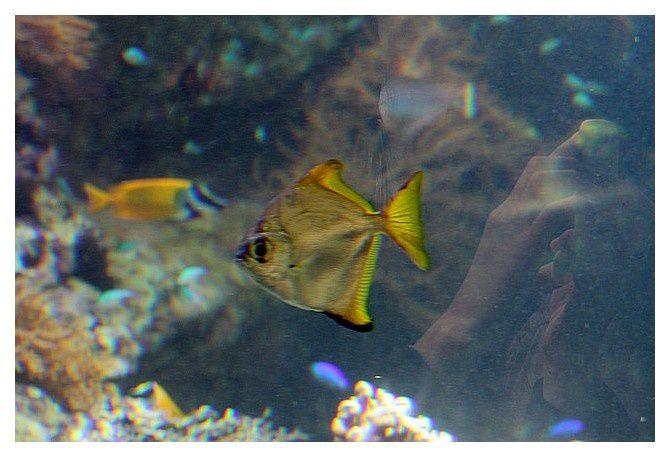 poisson lune argenté