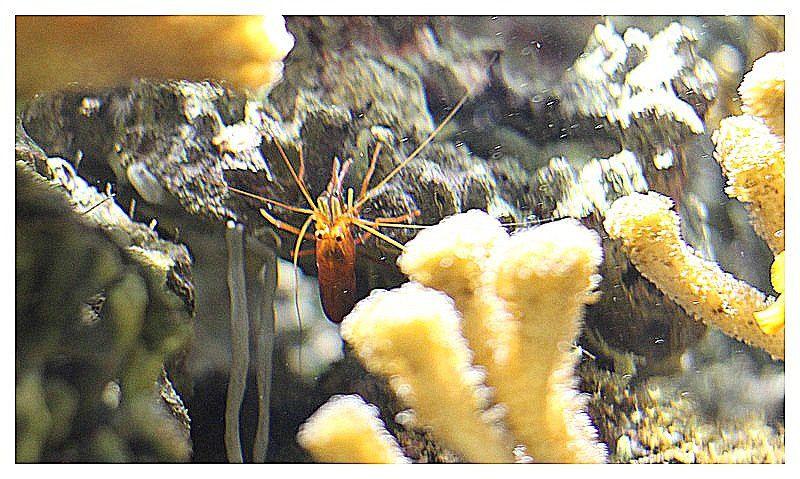 crevette  (espèce à déterminer); Ordre des Decapodes, Famille des Hippolytidés