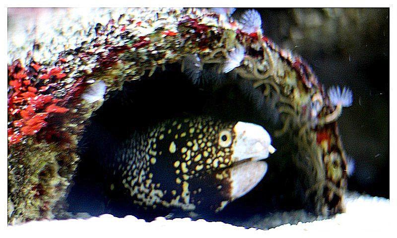 Murène à fleurs (Echidna nebulosa); Ordre des Anguilliformes, Famille des Murénidés