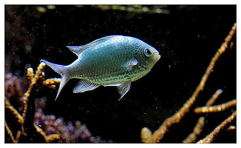 chromis bleu-vert (chromis viridis) ordre des perciformes, famille des pomacentridés