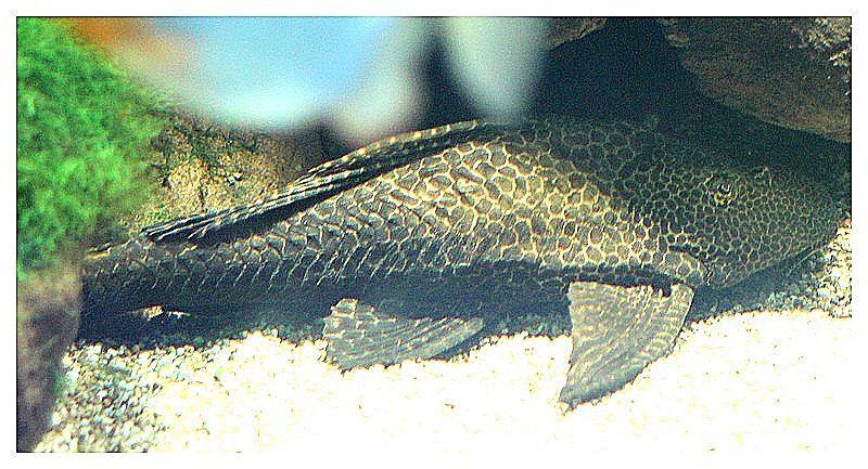 pléco (panaqolus sp) ; Ordre des Siluriformes, Famille des Loricariidés