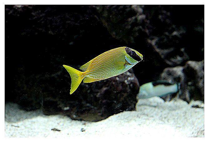 poisson lapin masqué (siganus puellus) ordre des perciformes, famille des siganidés