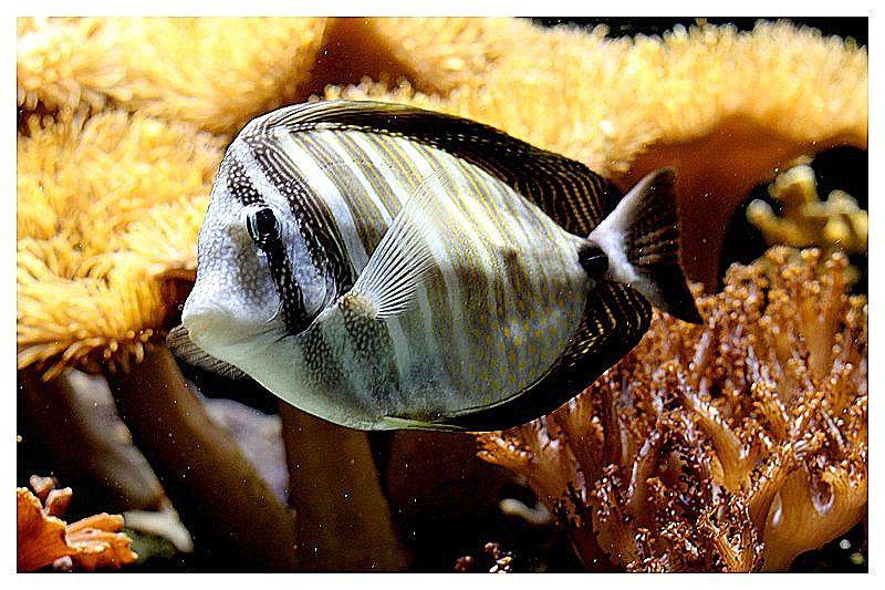 poisson-chirurgien voilier (Zebrasoma desjardinii); Ordre des Perciformes Famille des Acanthuridés