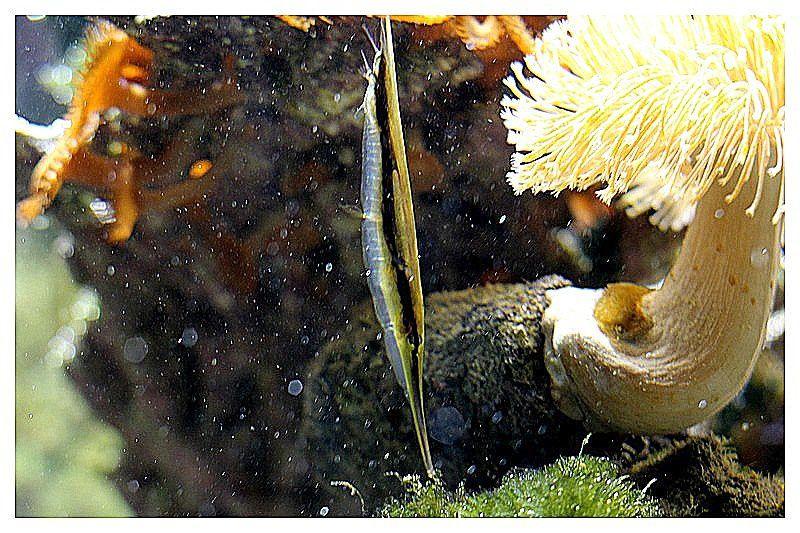poisson couteau  (aeoliscus strigatus) Ordre des Syngnathiformes, familledes Centriscidés