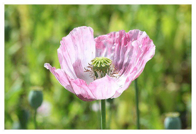 pavot somnifère ou pavot à opium (Papaver somniferum) plante herbacée annuelle ordre des papavérales famille des Papaveracés