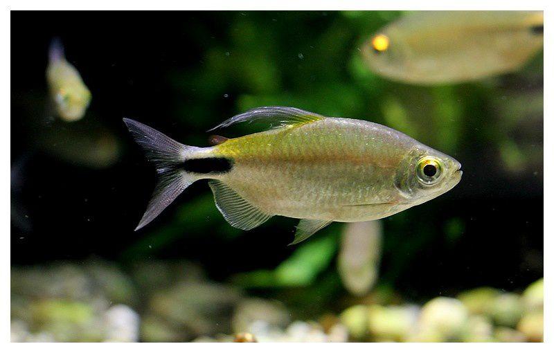 tetra ou Characin à grandes nageoires ( brycinus longipinnis); Ordre des Characiformes, Famille des Alestidés