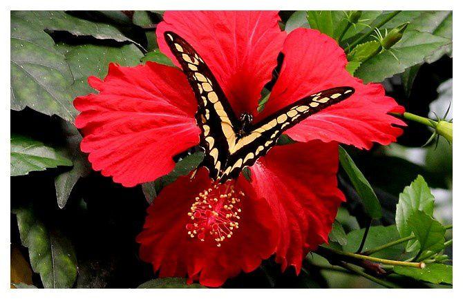 n°8  Le Voilier géant  (Papilio thoas)