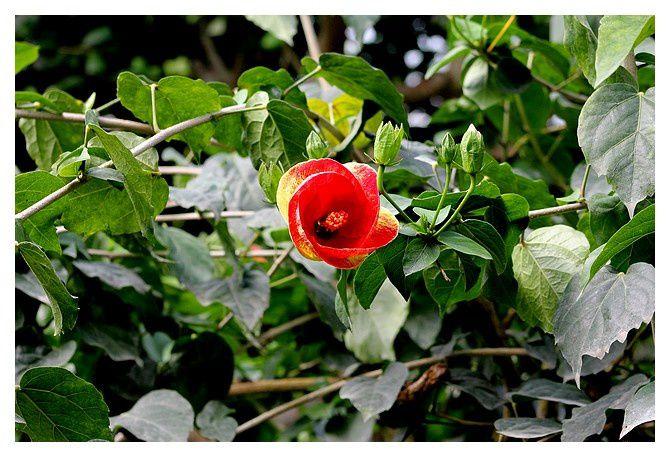 Honfleur (14); fleurs exotiques à la serre aux papillons