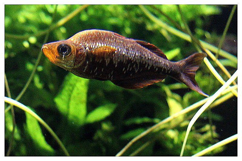arc en ciel rouge saumon _  femelle_ Glossolepis incisus