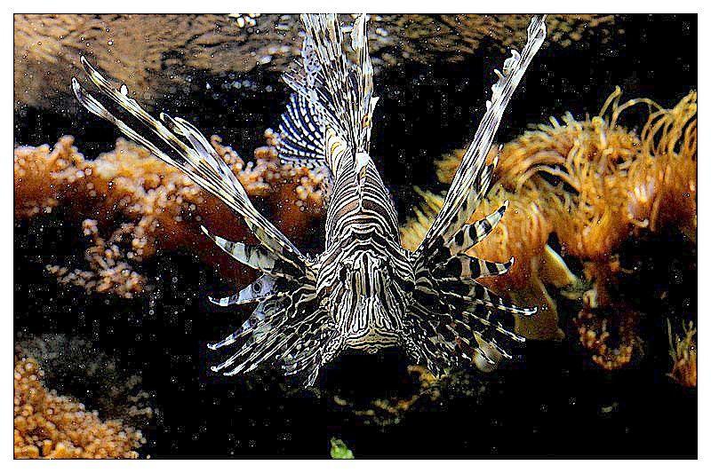 Rascasse volante  (Pterois volitans); Ordre des Scorpaeniformes, Familledes Scorpaenidés