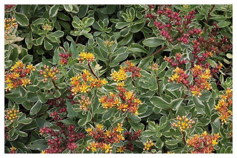 orpin du kamtschaka (sedum kamtschaticum variegatum)