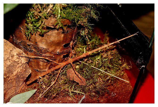 phasme gaulois  ... Clonopsis gallica;  Ordre des phasmoptères, Famille des Bacillidés