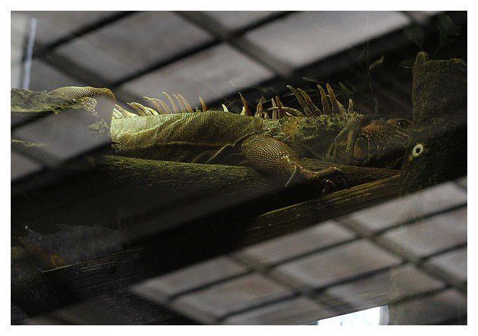 iguane vert ... Iguana iguana ; ordre des squamates; famille des Iguanidae