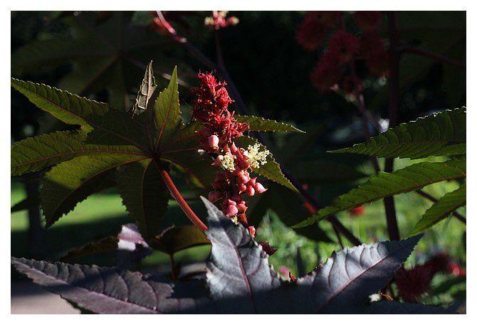 ricin commun ... ricinus communis - fruit, feuille et fleur